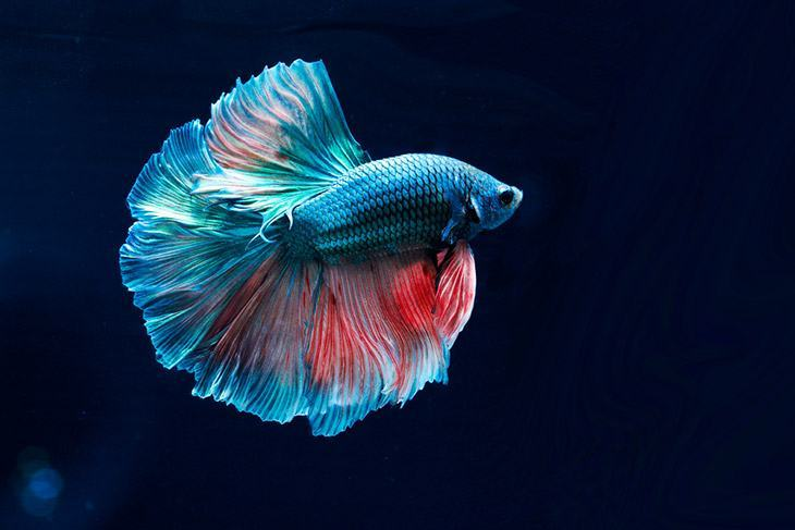 Betta-fish-do-need-a-heater-for-their-life