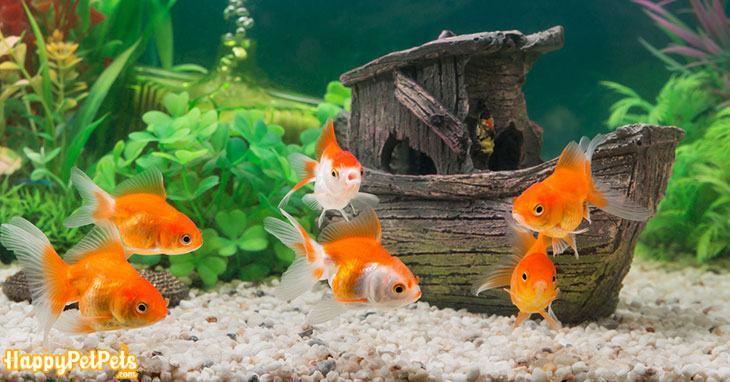 Goldfish-in-a-beautiful-tropical-green-aquarium-