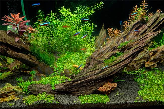 Use-driftwood-to-safely-lower-pH-level