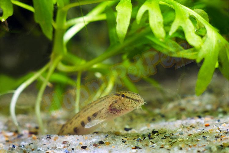 Loach loves to bury in the sand substrate