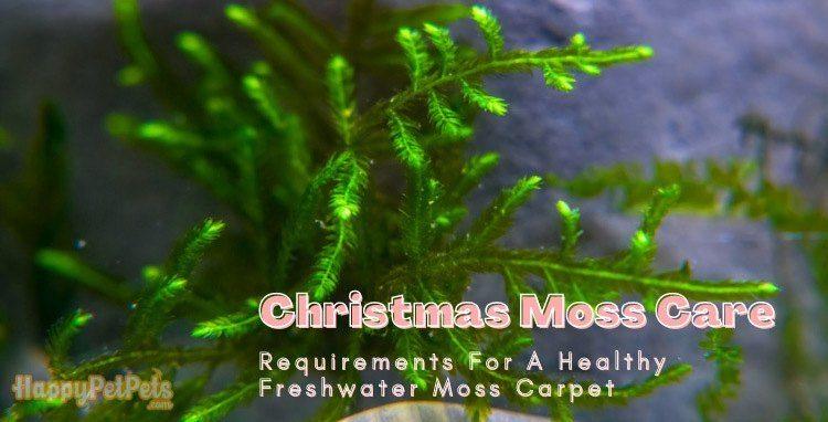 Christmas-moss-care