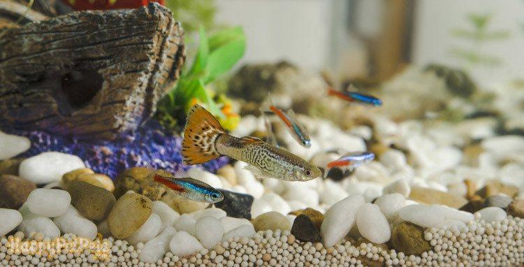 Guppy-fish-and-neon-Tetra-Paracheirodon-in-aquarium