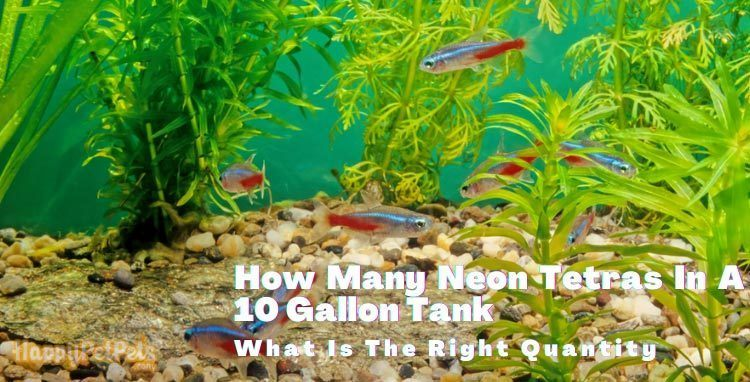 How-many-neon-tetras-in-a-10-gallon-tank-
