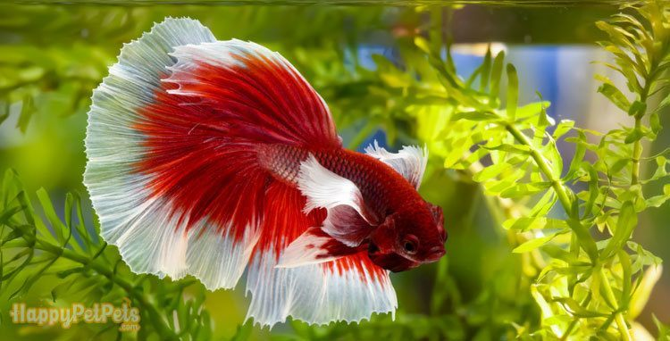 It's-a-good-idea-to-invest-in-a-filtration-system-for-your-betta-tank