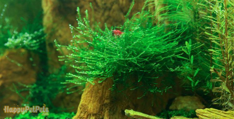 Java moss is quite slow to the average growth rate