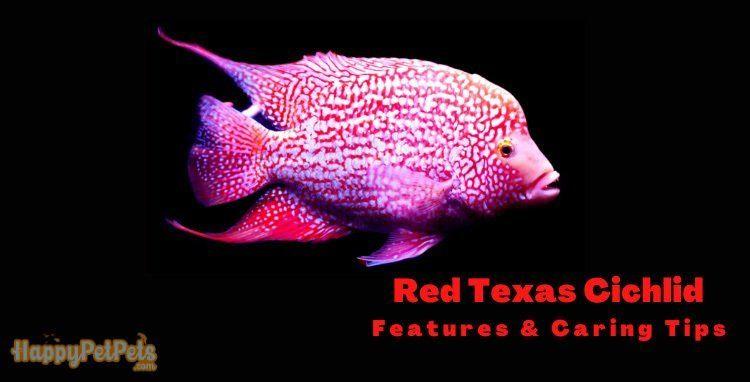 Red-Texas-Cichlid