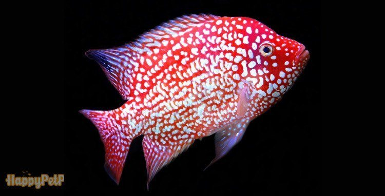 Red-Texas-Cichlids-are-famous-for-their-glimmering-white-dots