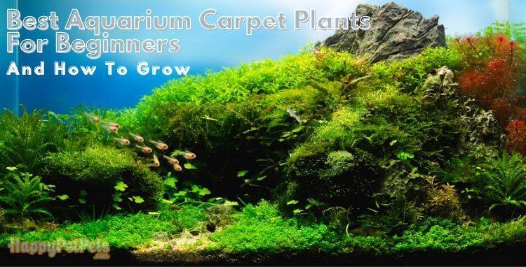 aquarium carpet plants for beginners